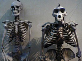 human and ape skeletons