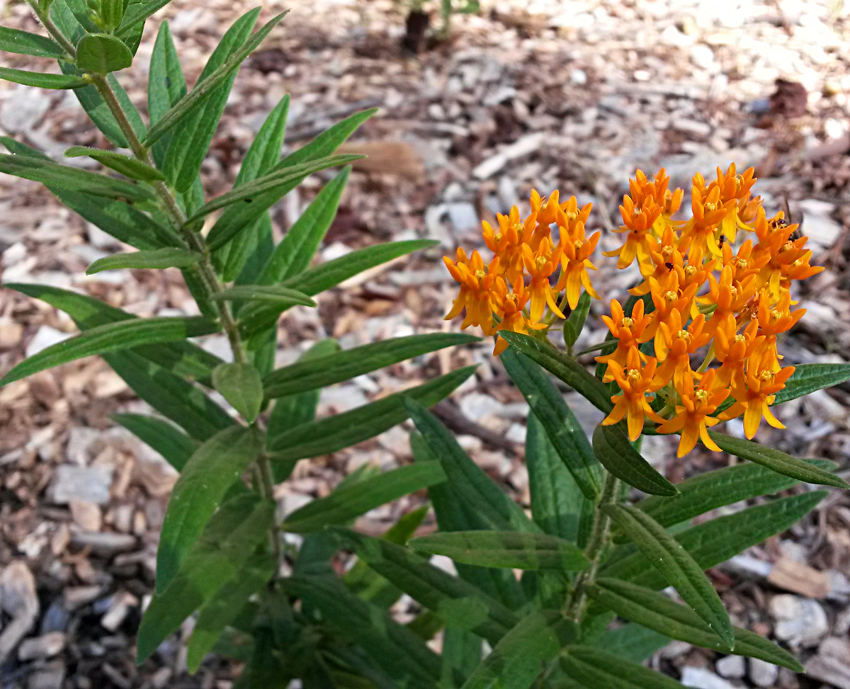 Butterfly Weed (Asclepias tuberosa), a mid-summer blooming milkweed.  Love thatorange color!