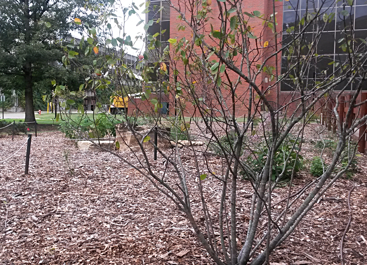 The garden in the fall.  In the foreground is a spring-blooming Apple Serviceberryshrub (Amelanchier x grandifolium).