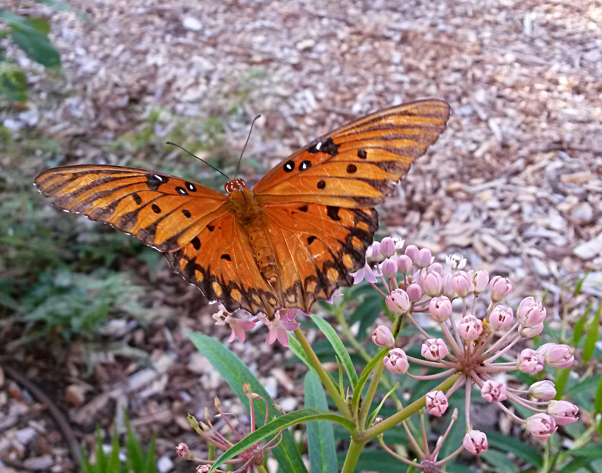 A Gulf fritillary butterfly (Agraulis vanillae) sips from the nectar provided by SwampMilkweed (Asclepias incarnata).