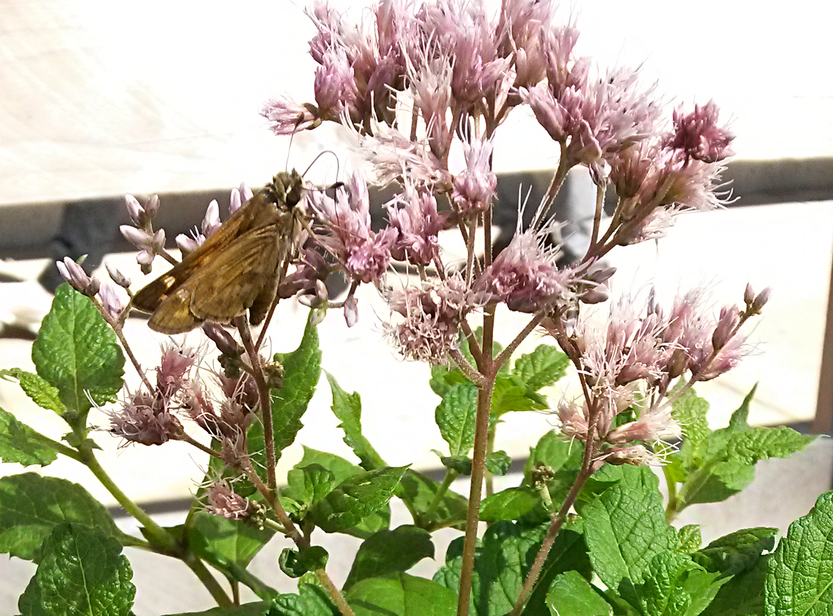 Joe-Pye Weed (Eutrochium purpureum) will grow much higher. A Skipper butterfly alightsfor some nectar.