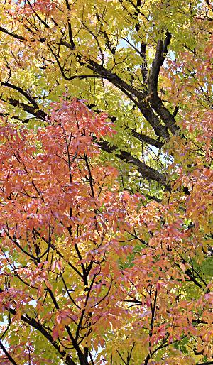 Image of backlit fall leaves.