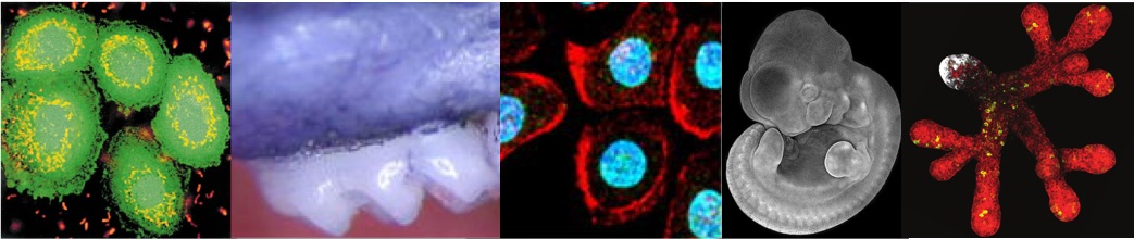 banner image including cells infected with P.g., teeth, mouse embryo, mouse cultured salivary gland