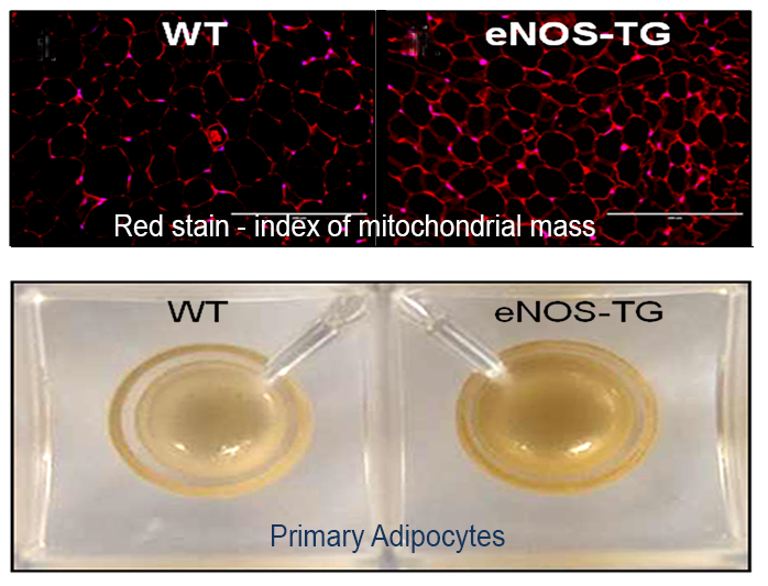 Confocal image of mitochondria in a living adipose tissue explant derived from eNOS-TG mice. Boxes indicate putative APCs with high mitochondrial levels. Red, TMRM; Blue, Hoescht.