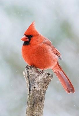 Image of cardinal bird