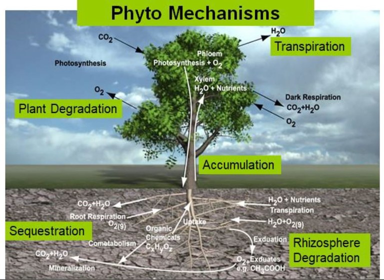 A graphic detailing phyto mechanisms