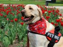UofL's LALS therapy dog gets as much as he gives  l  UofL News
