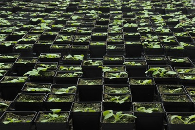 Owensboro Cancer Research Program tobacco plants growing