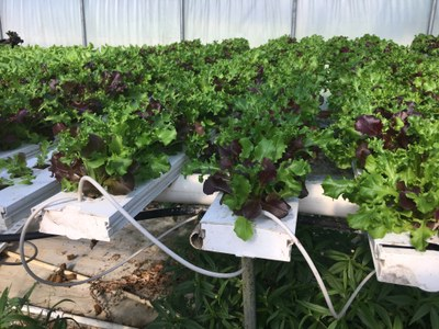 Image 2 of lettuce in the greenhouse