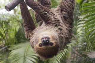 Sloth hanging upside down from a limb