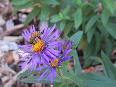 BIOL Native Plant Garden with Bee
