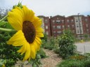 Sunflower at UPA Garden