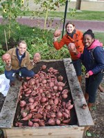 UPA Garden - Oct2013 Sweet Potato Harvest