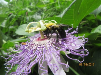 Pollinators on Maypop Flower at Urban Studies Horticulture Zone