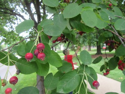 Serviceberry Foraging