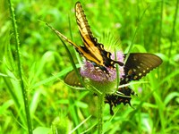 2016 UofL Butterfly Count nets 39 species